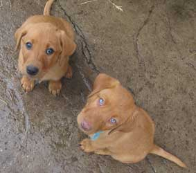 Privious Fox Red Labrador Puppies